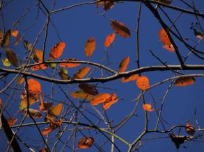 Red black gum leaves.