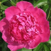 hot-pink-peony-bloom3