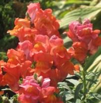 Snapdragan flowers