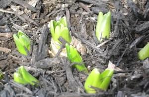 Spring 2011 - first sign of spring - Hyacinths