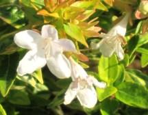 Abelia Kaleidoscope flowers