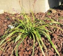 Lilyturf (variegata) plant