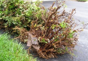 Shallow roots of Barbery Bushes