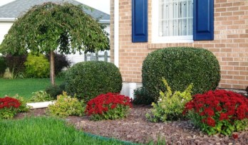 new shrubs - Abelia Kaleidoscope
