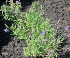Lavender plant 2