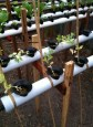 The peas are not doing well in the system—probably don't like the pH...