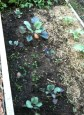 Red cabbage, purple broccoli and standard broccoli in the soil garden