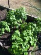 Wonderful growth on the potatoes (one of three patches)