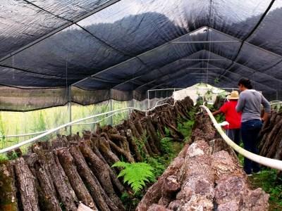 Cultivo-de-hongos-curativos