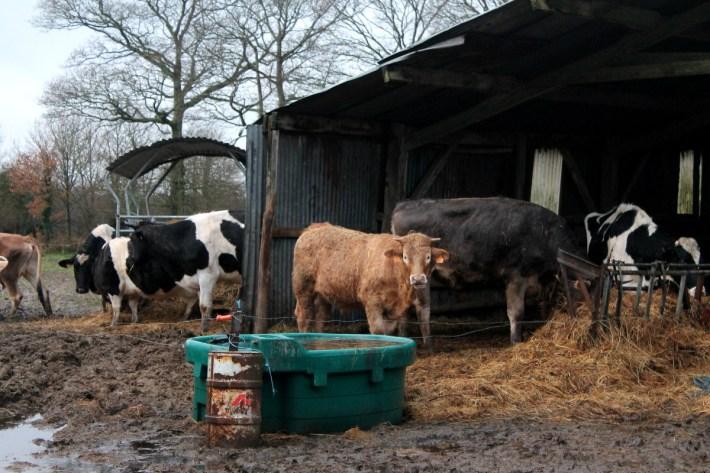 Vacas zadistas en una granja recuperada