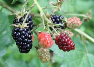 Ripe,_ripening,_and_green_blackberries