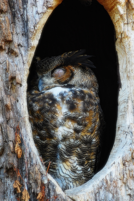 Owl_sleeping_in_tree