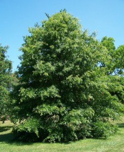 Pin_oak_quercus_palustris