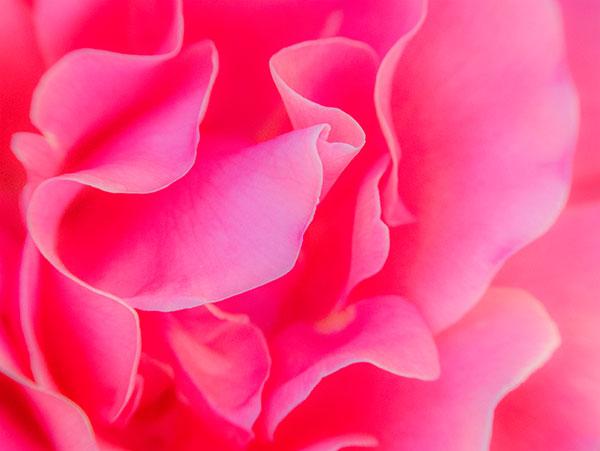 rose petal photo