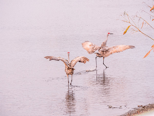 sandhill cranes photo