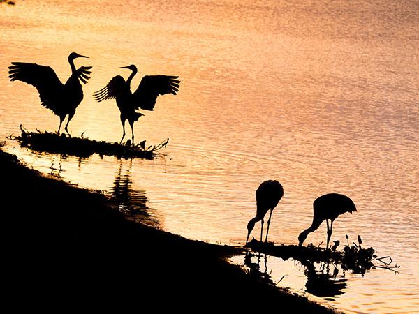 sandhill cranes morning silhouette