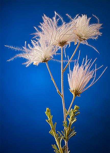 apache plume bloom