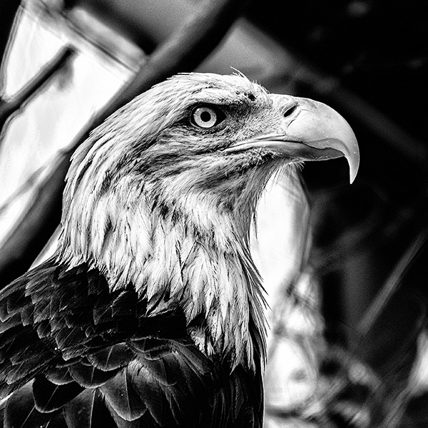 eagle photo black & white