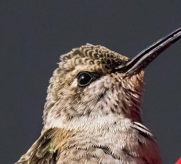 hummingbird photo sharpened