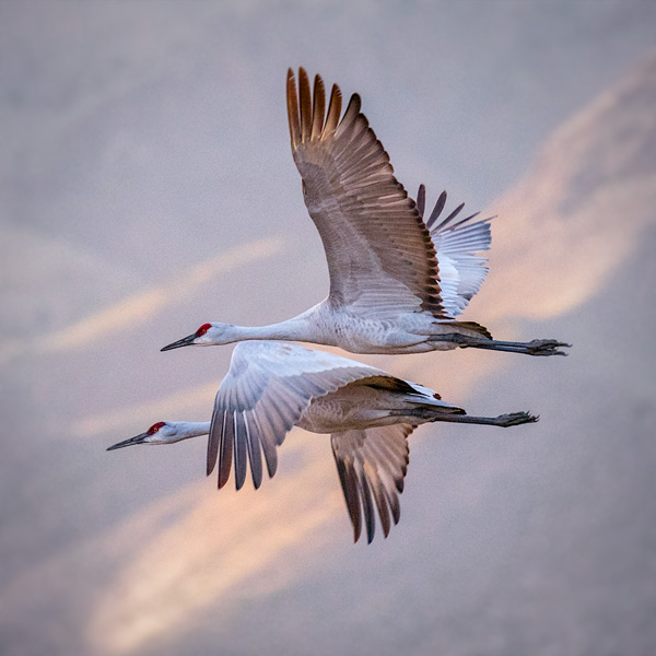 sandhill cranes in flight photo