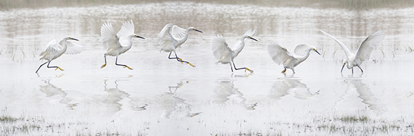 snowy egret composite by bob coates photography