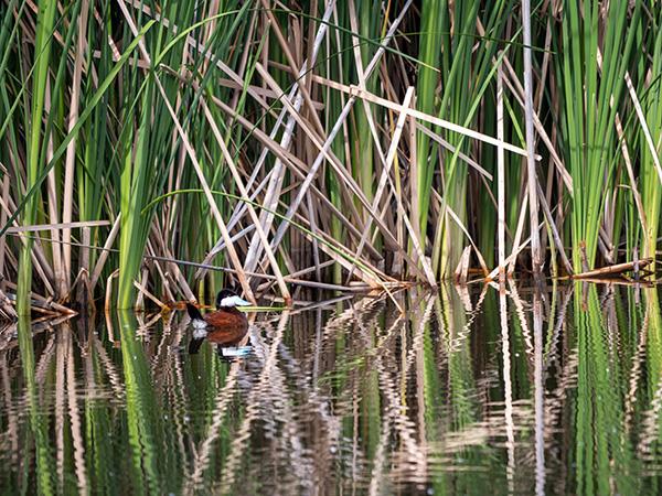 ruddy duck wetlands of sedona