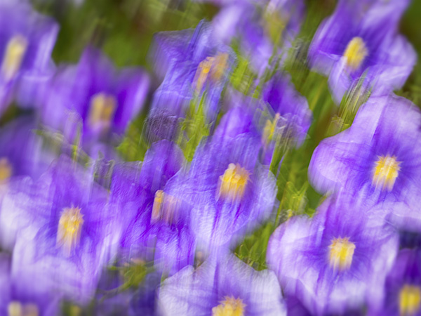 purple robe flowers