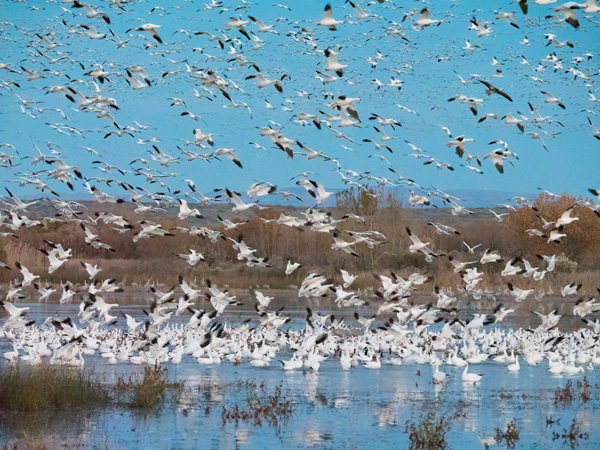 snow geese take flight image
