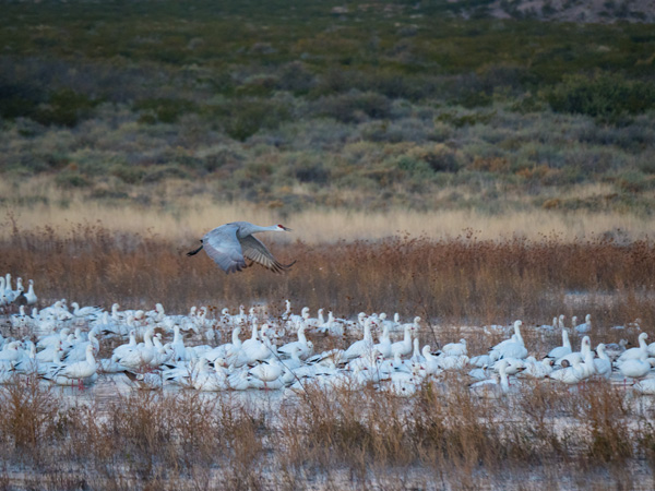 sandhill crane over snow geese photo