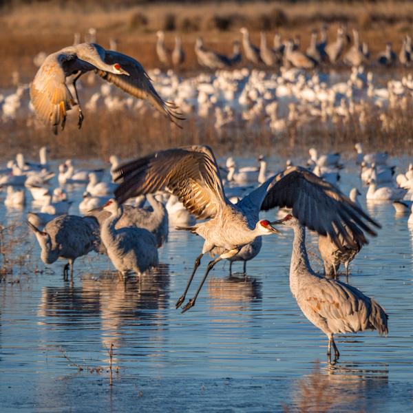 sandhill cranes landing bosque
