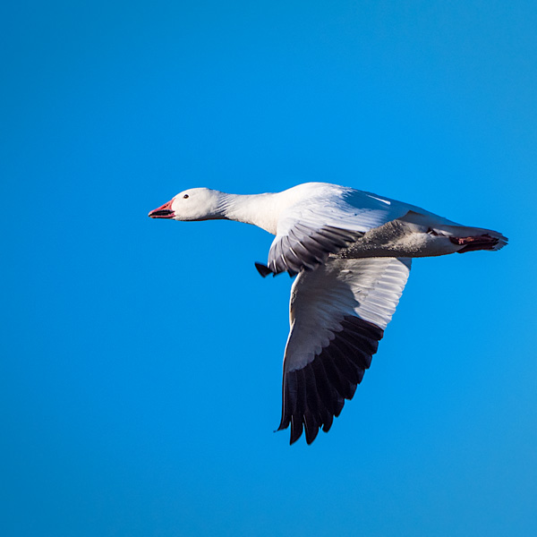 snow goose in flight