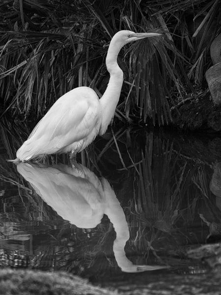 great white egret photo