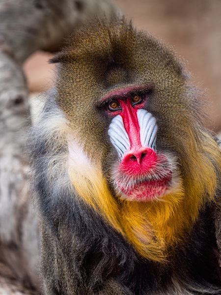 mandrill at phoenix zoo photo