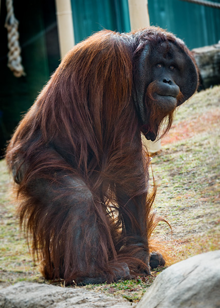 orangutan at the phoeni zoo image