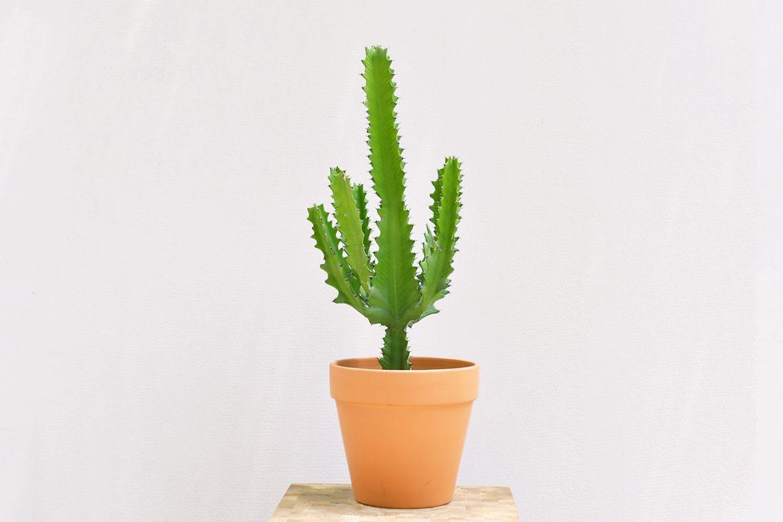 龍骨 大型仙人掌 素燒陶盆 綠色大型植物 帶刺的植物