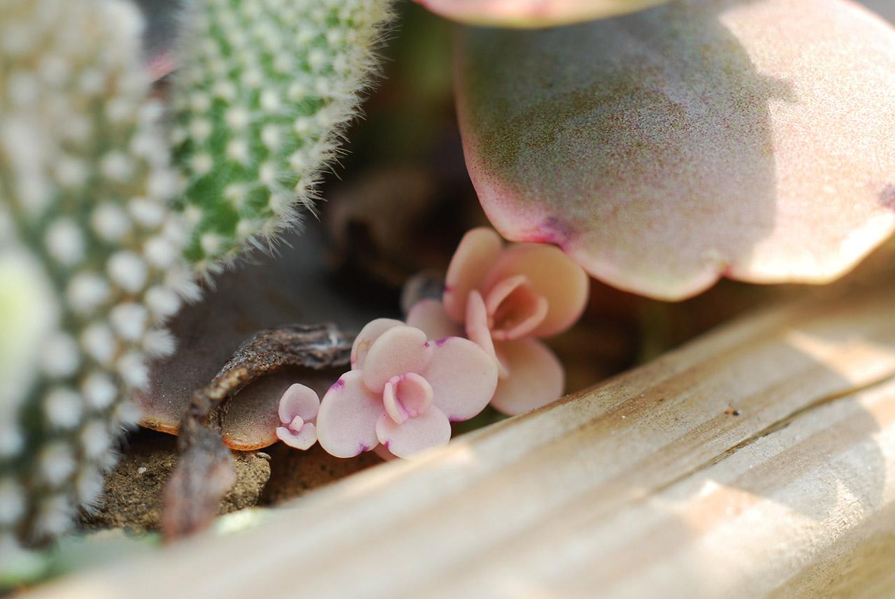 繁殖多肉植物
