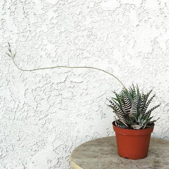planta Cebra - Cuidados