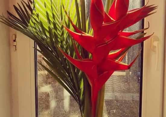 Heliconias en interiores