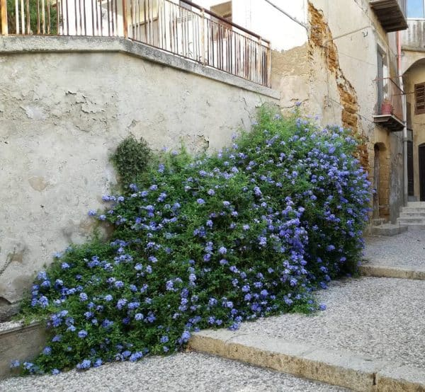 Jazmín azul (Plumbago auriculata) – Usos y Cuidados