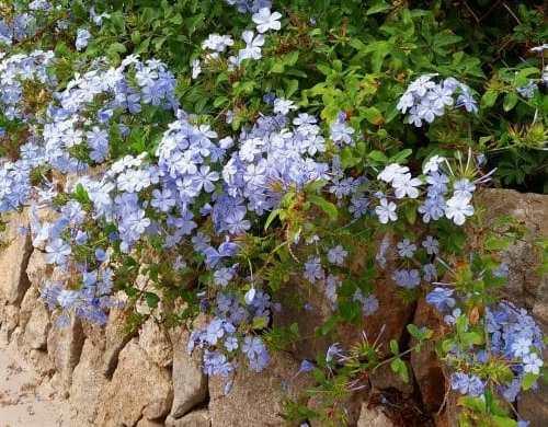 Jazmín azul colgando de un muro