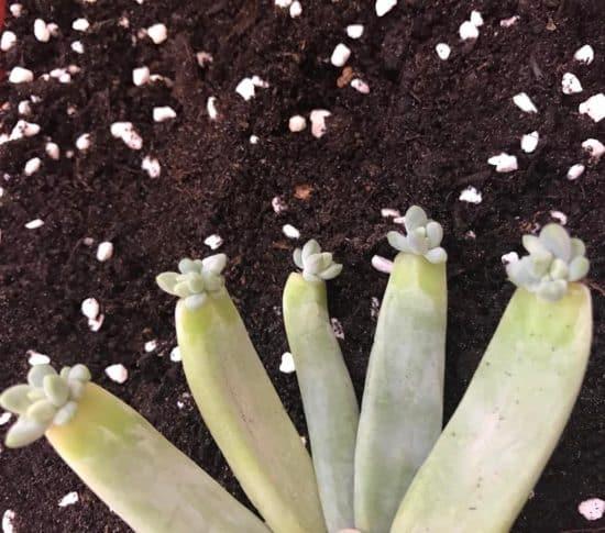 Cómo propagar suculentas por medio de hojas