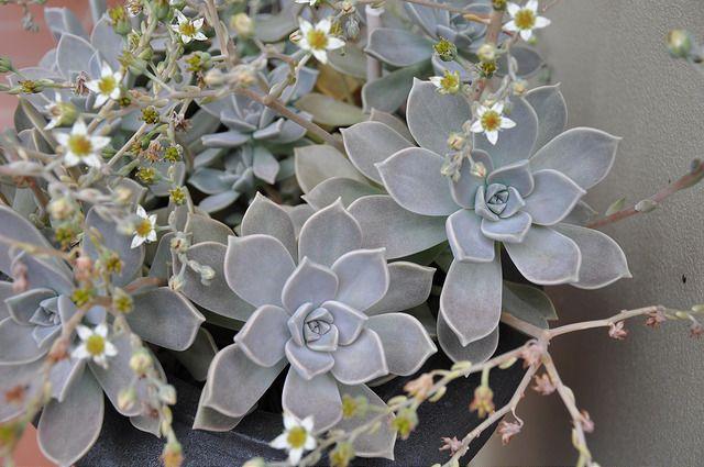 Hacer florecer una suculenta