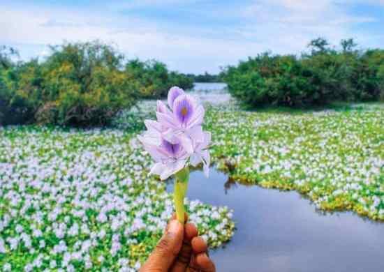Fotos de jacinto de agua