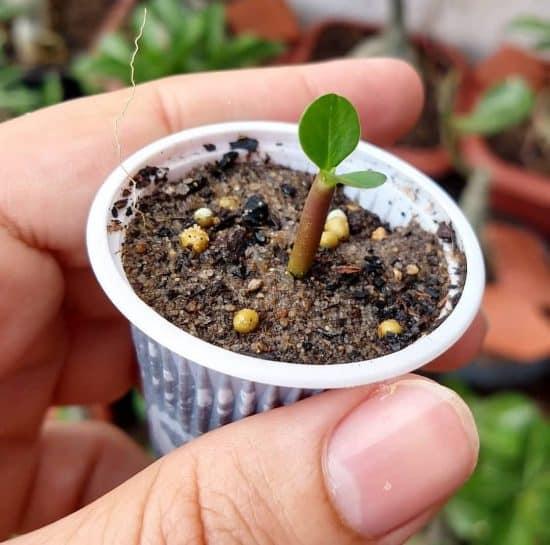 Cómo reproducir la rosa del desierto por semilla