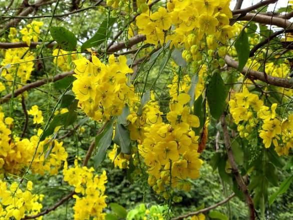 Árbol Lluvia de oro
