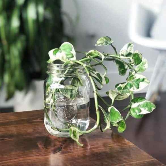 Planta Potus Pearls and Jade