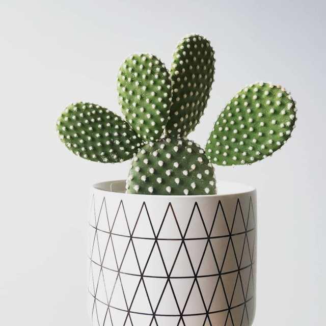 Bunny Ears Cactus Opuntia Microdasys Succulent Plant