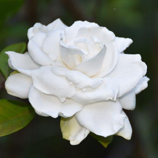 White gardenia succulent plant