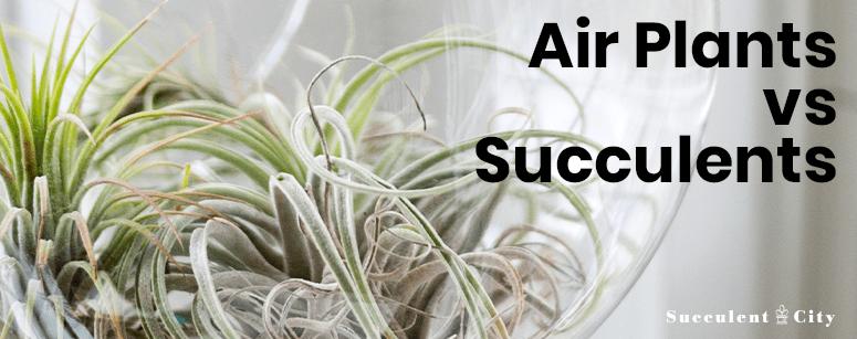 Air Plants vs Succulent Plants