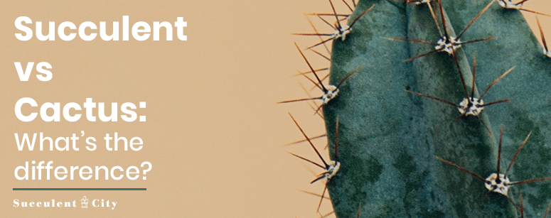 What's the difference between succulents and cacti?